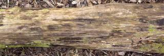 Decomposing tree trunks 0030