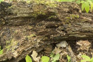 Decomposing tree trunks 0033