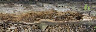 Decomposing tree trunks 0035