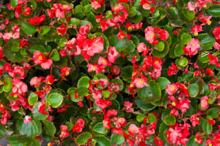 Flowers 0052