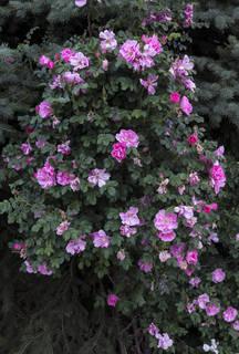 Flowers 0087