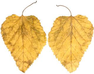 Leaves single autumn 0005