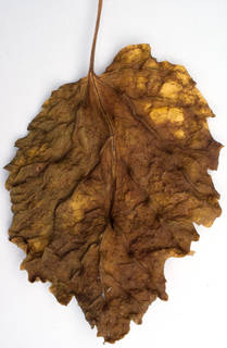 Leaves single autumn 0006
