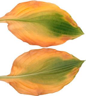 Leaves single autumn 0007