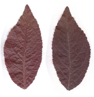 Leaves single autumn 0009