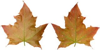 Leaves single autumn 0019