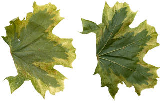 Leaves single autumn 0021
