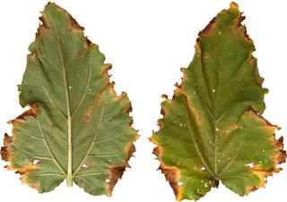 Leaves single autumn 0026