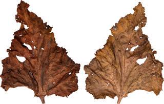 Leaves single autumn 0027