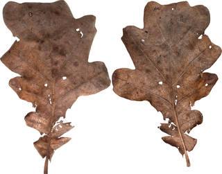 Leaves single autumn 0029