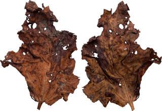 Leaves single autumn 0030