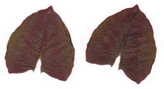 Leaves single autumn 0062