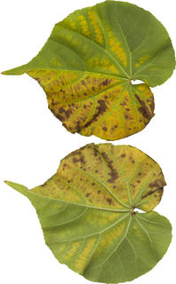 Leaves single autumn 0070