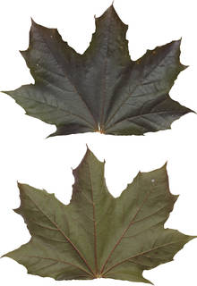 Leaves single autumn 0071
