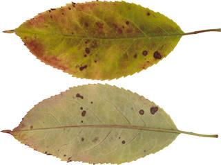 Leaves single autumn 0074
