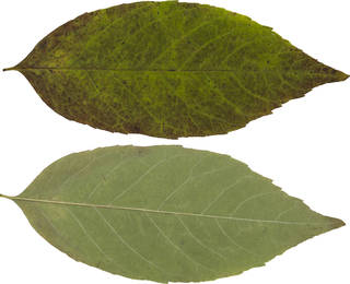 Leaves single autumn 0075
