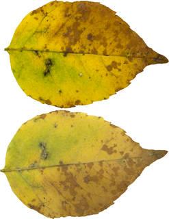 Leaves single autumn 0076