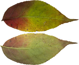 Leaves single autumn 0077