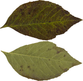 Leaves single autumn 0078