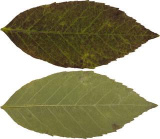 Leaves single autumn 0079