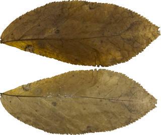 Leaves single autumn 0085