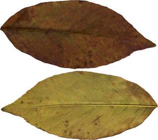 Leaves single autumn 0087