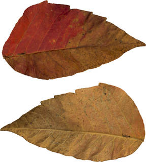 Leaves single autumn 0088