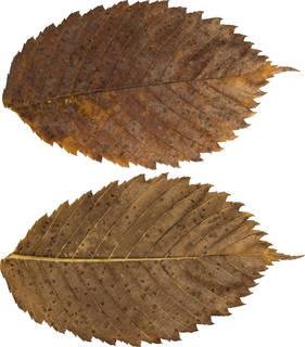 Leaves single autumn 0091