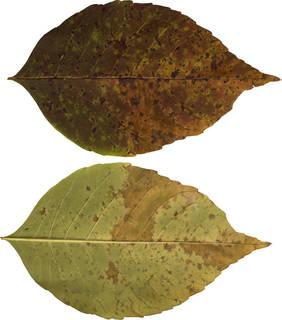 Leaves single autumn 0093