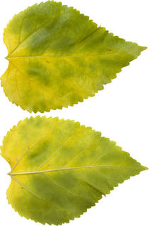 Leaves single autumn 0095