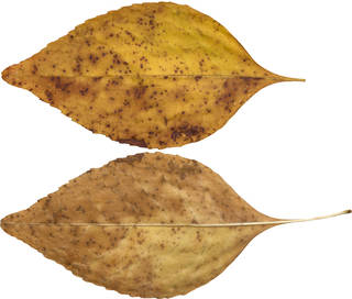 Leaves single autumn 0098