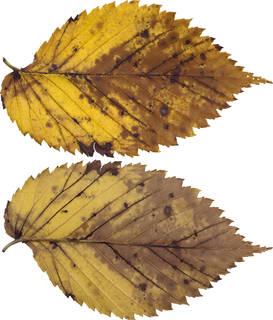 Leaves single autumn 0099