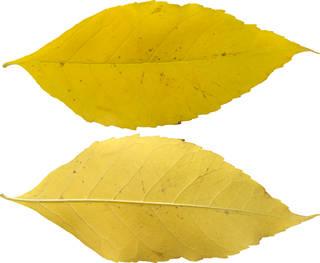 Leaves single autumn 0101