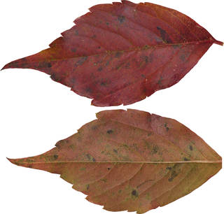 Leaves single autumn 0103