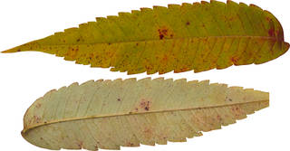 Leaves single autumn 0107