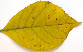 Leaves single autumn 0108