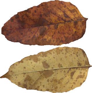 Leaves single autumn 0111