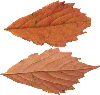 Leaves single autumn 0112