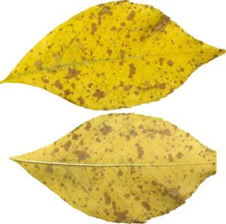 Leaves single autumn 0115