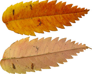 Leaves single autumn 0118