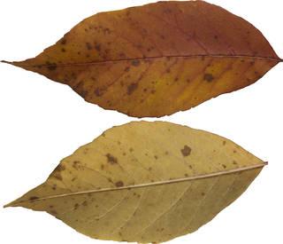Leaves single autumn 0122