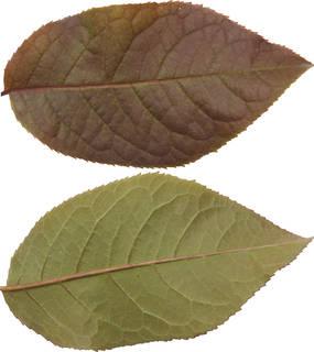 Leaves single autumn 0123