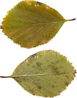 Leaves single autumn 0124