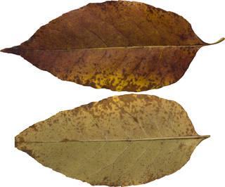 Leaves single autumn 0128