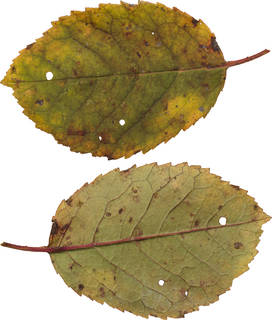 Leaves single autumn 0130