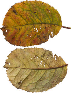 Leaves single autumn 0131