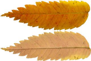 Leaves single autumn 0132