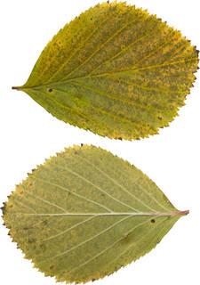 Leaves single autumn 0136