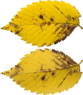 Leaves single autumn 0137