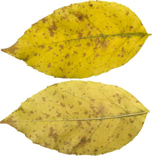 Leaves single autumn 0138